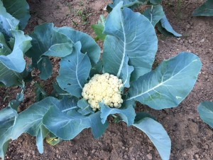 July 5 - Garden cauliflower